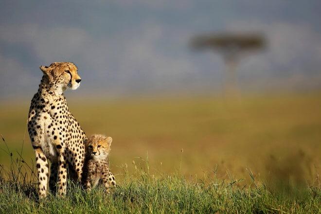 Safari photo : 10 conseils pour le réussir (et rencontrer le lion)