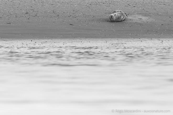 phoque-veau-marin