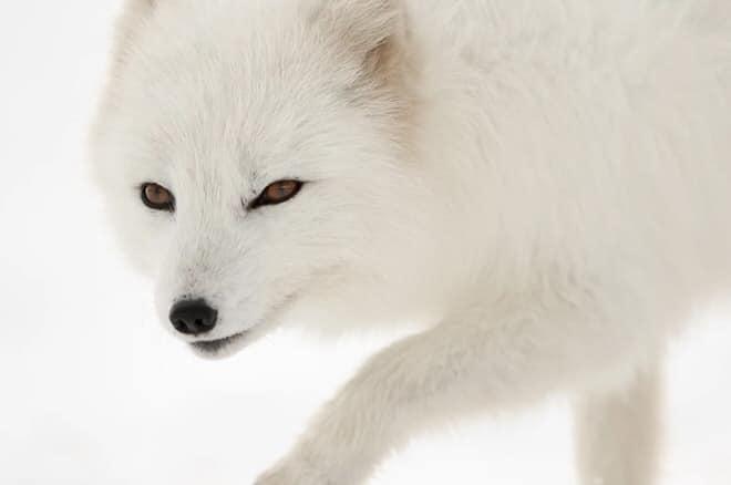 renard-polaire-philippe-garcia6