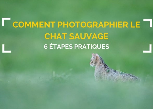 6 étapes pour photographier le chat sauvage d'Europe